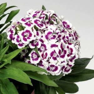 BARBARINI PURPLE PICOTEE